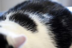 Large Shorthair