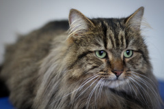 Large_Male_Forest_Cat_mix01