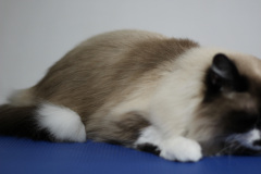 Large_Male_Rescue_Ragdoll01