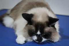 Large_Male_Rescue_Ragdoll03