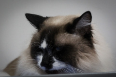 Large_Male_Rescue_Ragdoll04