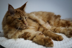 Large_Red_Male_Maine_Coon01