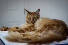 Large_Red_Male_Maine_Coon02