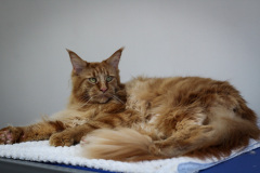 Large_Red_Male_Maine_Coon03