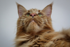 Large_Red_Male_Maine_Coon04