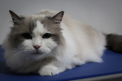 Middle_age_Female_Rescue_-Ragdoll01