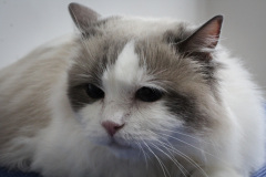 Middle_age_Female_Rescue_-Ragdoll02