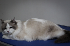 Middle_age_Female_Rescue_-Ragdoll04