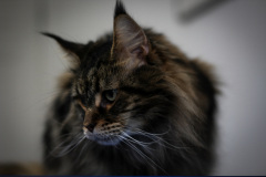 Small_Female_Maine_Coon_Dry_Groom01