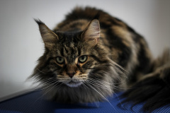 Small_Female_Maine_Coon_Dry_Groom02