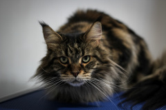 Small_Female_Maine_Coon_Dry_Groom03