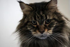 Small_Female_Maine_Coon_Dry_Groom04
