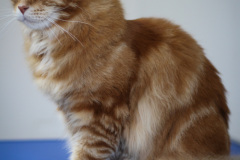 Young_Red_Male_Maine_Coon01