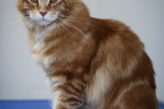 Young_Red_Male_Maine_Coon02