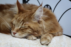 Young_Red_Male_Maine_Coon04